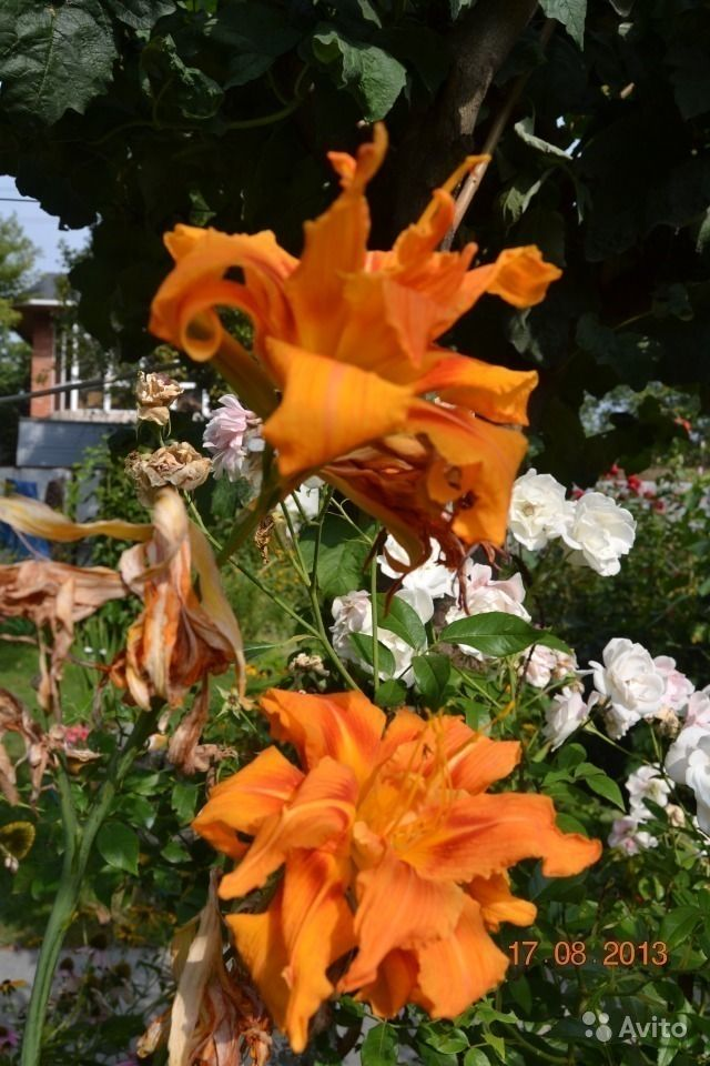 Продаю рассаду клубники и малины и садовых цветов. Ставропольский край, Ессентуки