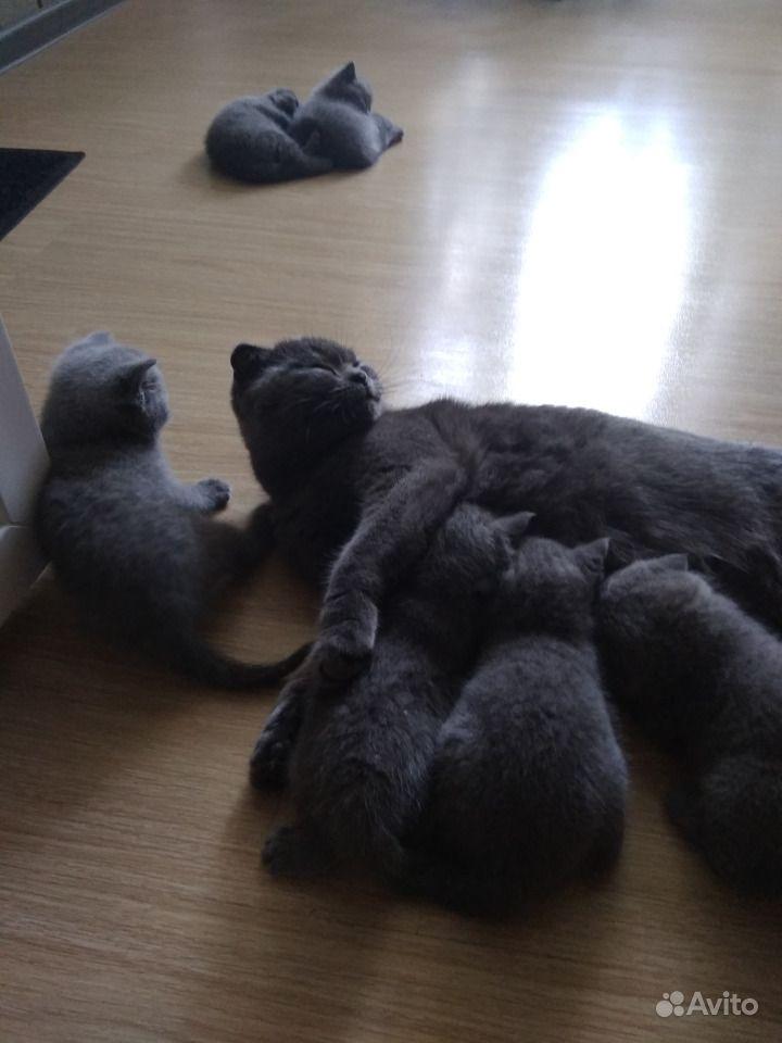 Шотландские котята в Горшечном - фотография № 4