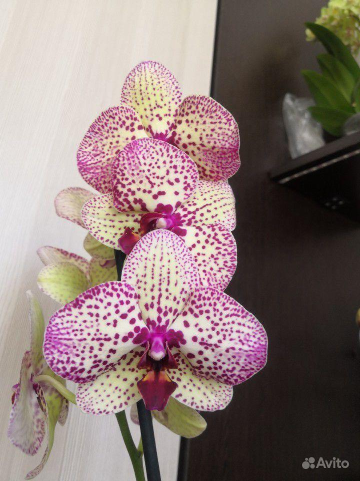Орхидея фаленопсис купить на Зозу.ру - фотография № 2