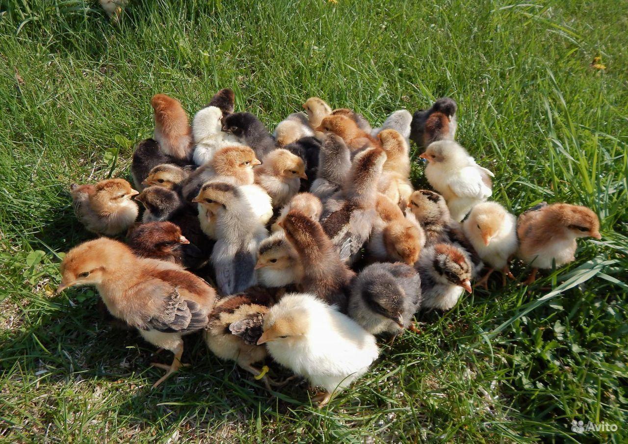 Цыплята кучиннские,возраст 1 месяц купить на Зозу.ру - фотография № 1