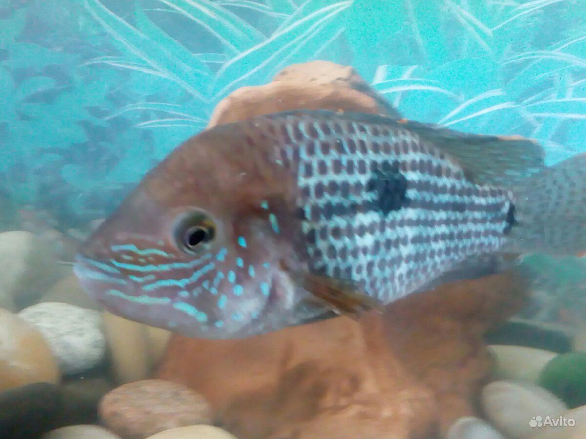 Аквариумная рыбка купить на Зозу.ру - фотография № 1