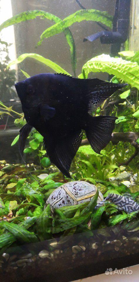 Скалярия черная купить на Зозу.ру - фотография № 1