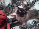 Сиамской кот(кастрированный)
