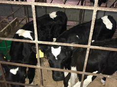 Телочки и бычки, От 1 месяца, до 3х