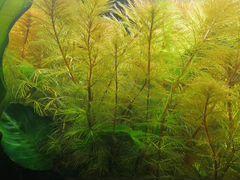 Аквариумное растение Перистолистник Рорайма