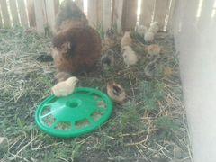 Кохинхин цыплёнок