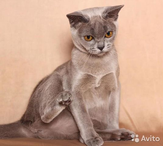 фото котят бурмы