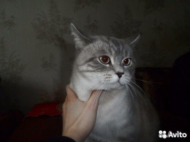 Авито спаривание котов