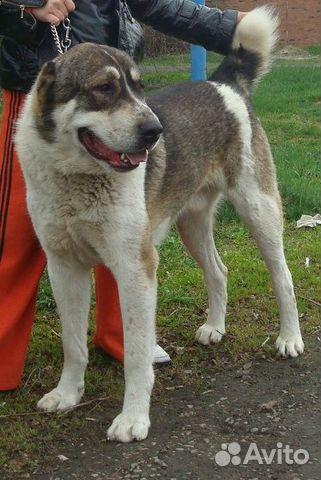 есть Официальный продажа собак алабаев ростовская область таким