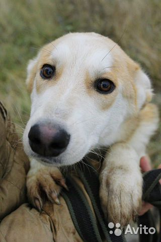 Отдам щенка девочку купить на Зозу.ру - фотография № 8