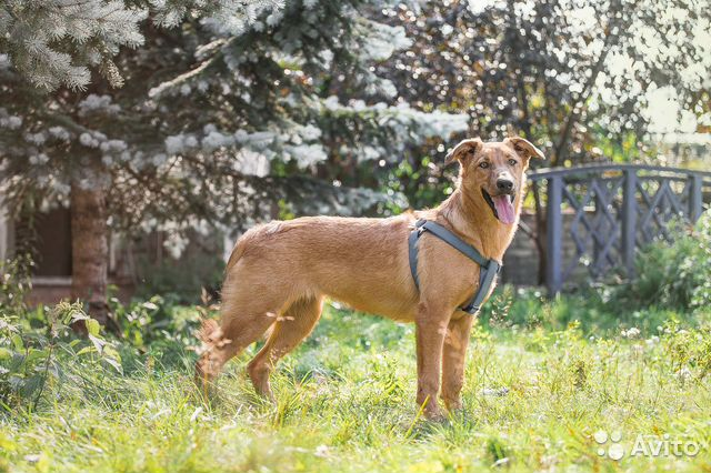 Отдам рыжего щенка в добрые руки купить на Зозу.ру - фотография № 6