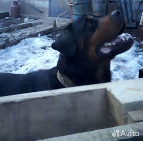 Собака 89249966749 купить 2