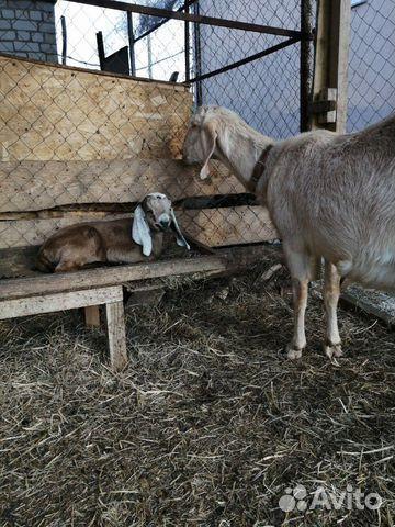 Кoзы и козлята англо-нубийские купить 7