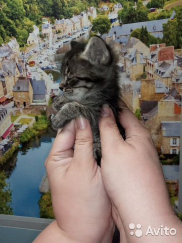 Кошка 89170821738 купить 3