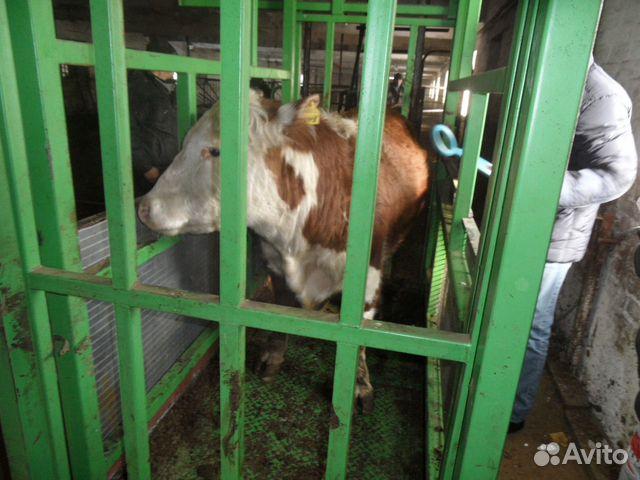 Крс, Коровы, Быки,Говядина 89538528355 купить 6