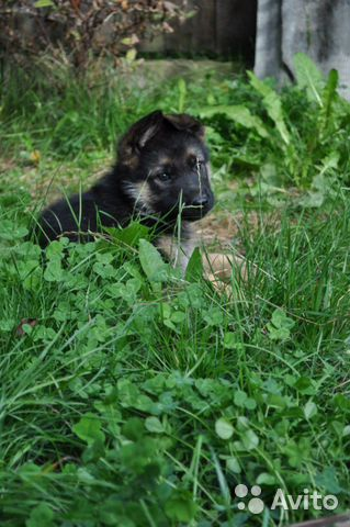 German shepherd  buy 3