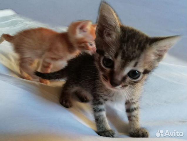 Котята  89003612757 купить 2