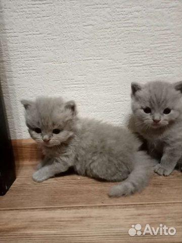 Британские котята  89210680905 купить 1