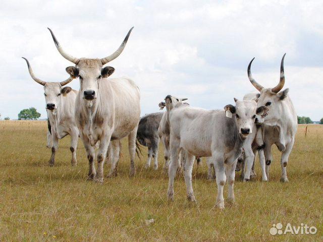 Коровы, телята, овцы