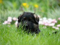 Немецкая овчарка) щенки