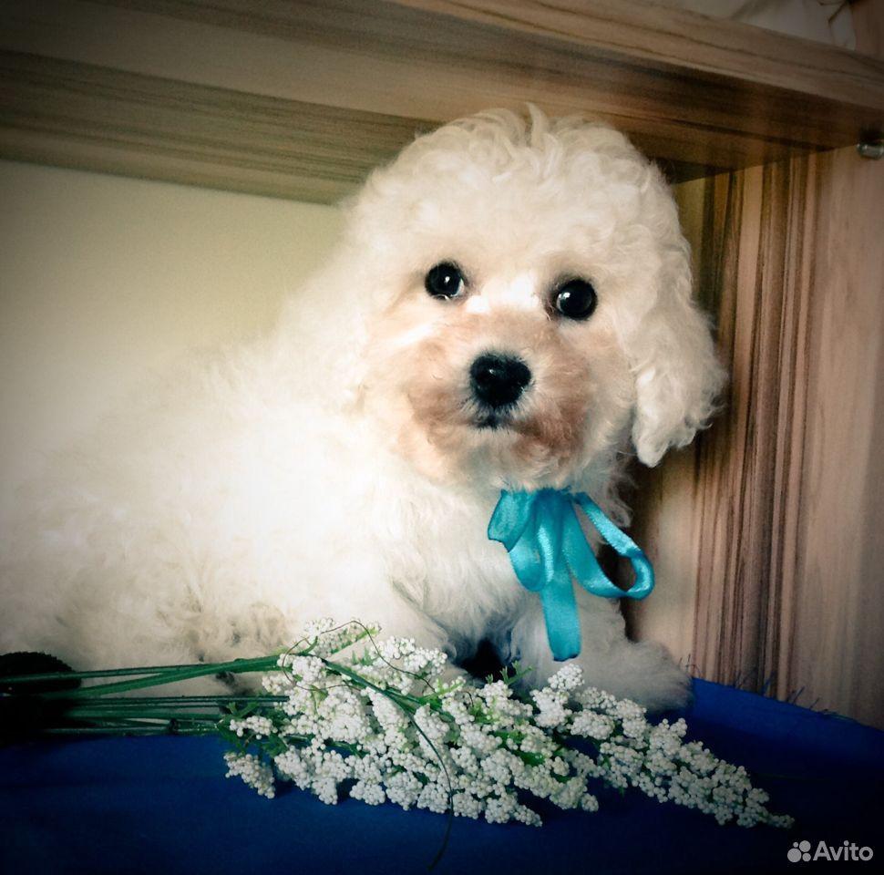 Бишон фризе,щенки в Крыму