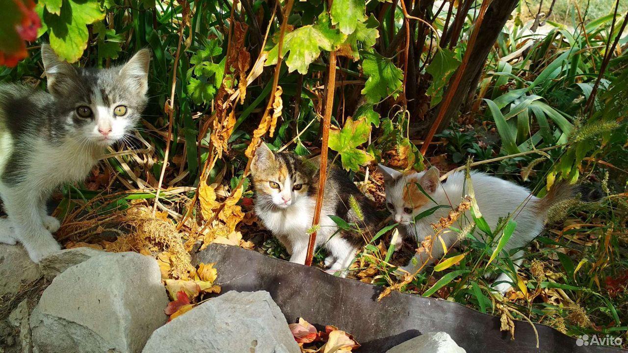 Котята, 5 очаровашек  89173308243 купить 5