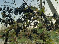 Виноград — Растения в Великовечном