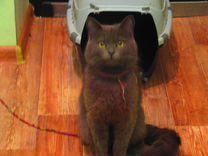 Найден котик британец лиловый-метис британца