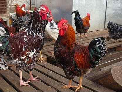 Петухи и курицы ливенской ситцевой породы