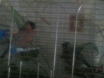 Снигир самец и самка