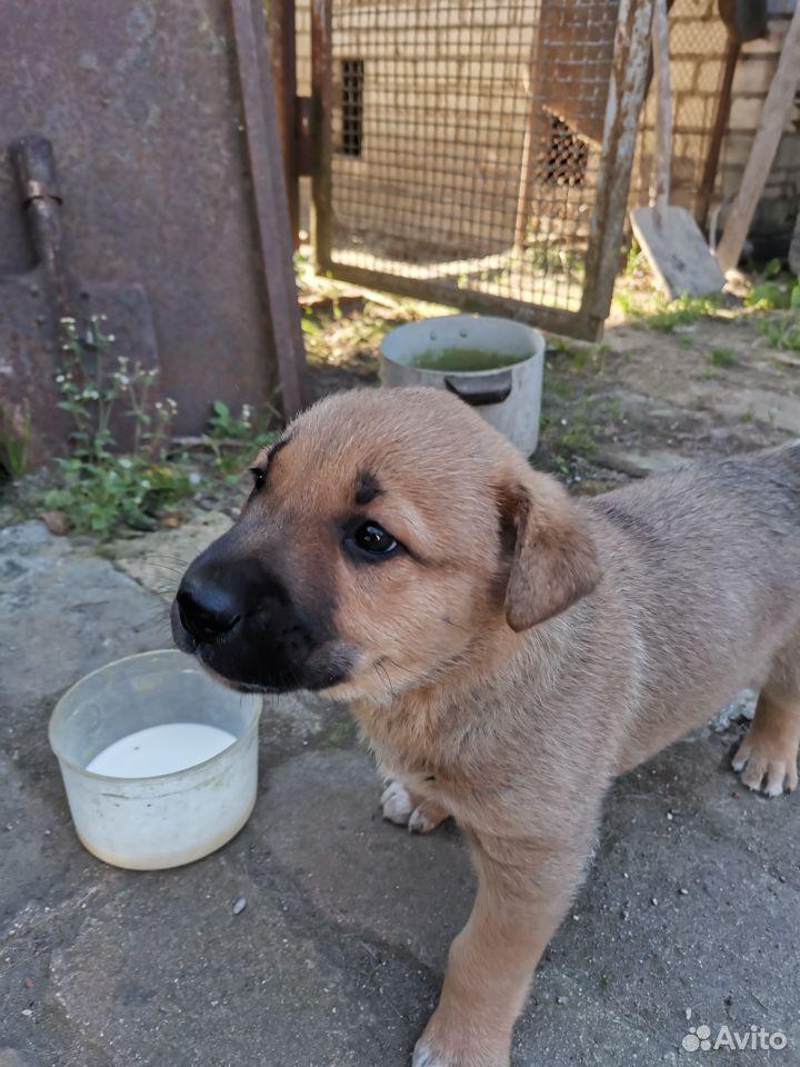 Собака  89118676240 купить 2
