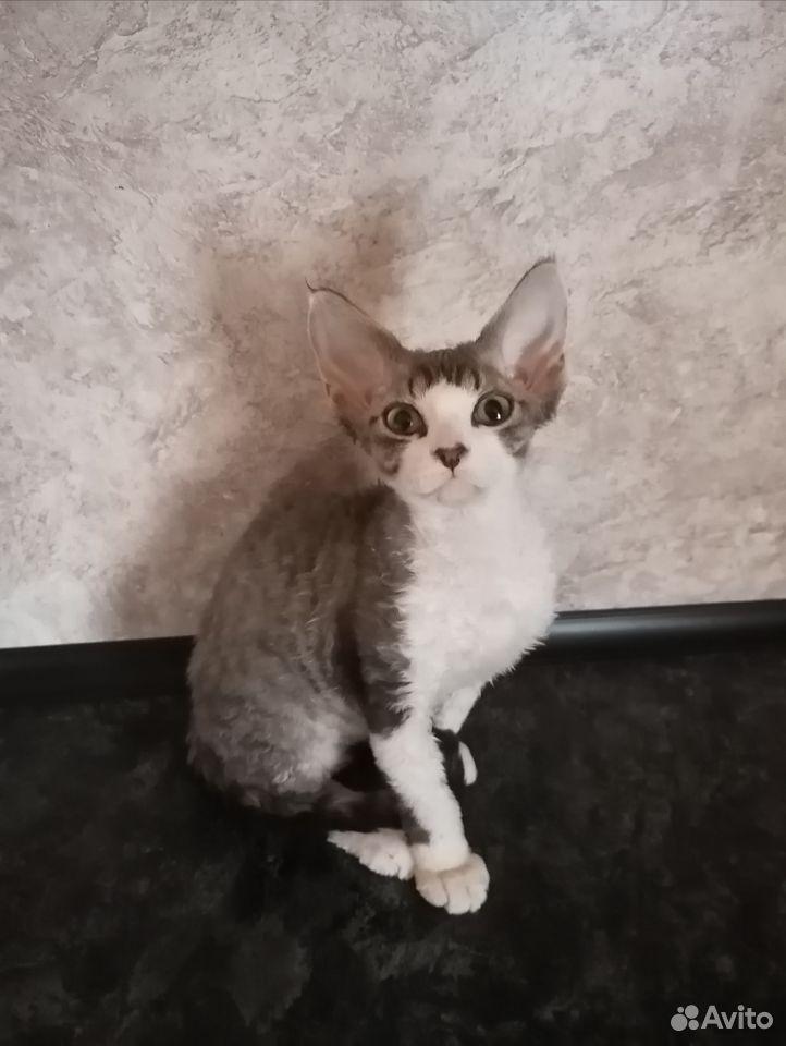 Девон рекс. Красивый котик  89231147933 купить 1