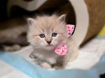 Породистый красивый ласковый котенок (кошечка)