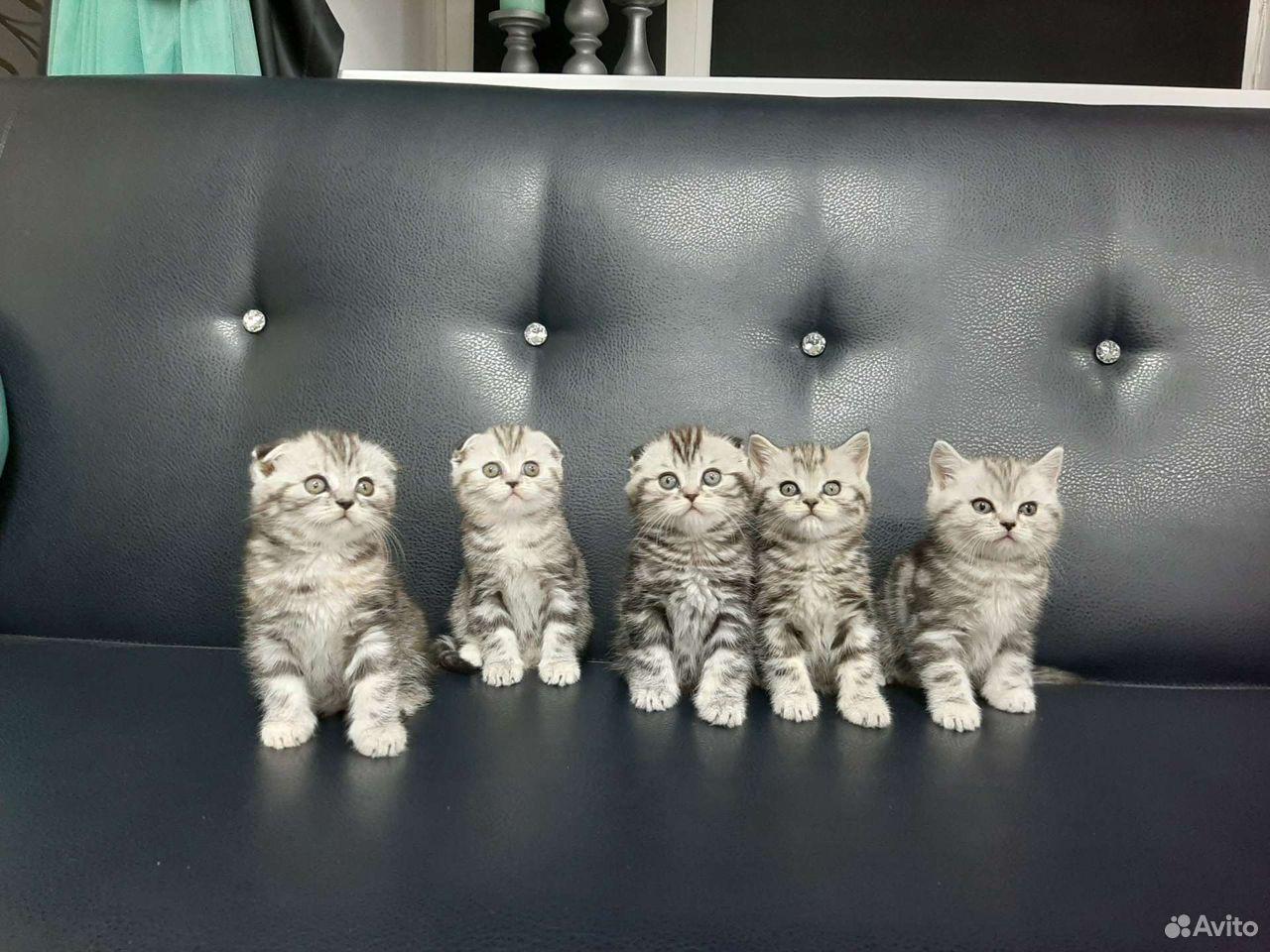 Котята британской породы  89125136404 купить 2