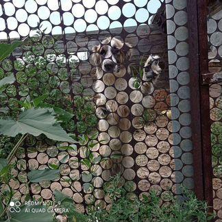 Собака алабай - авито - Объявления в Марксе