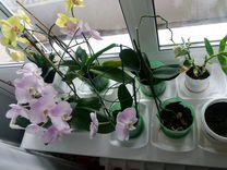 Орхидеи. Оптом дешевле