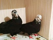 Продаю голубей
