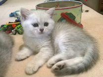 Британские шиншилловые котята