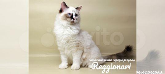 Котёнок рэгдолл девочка