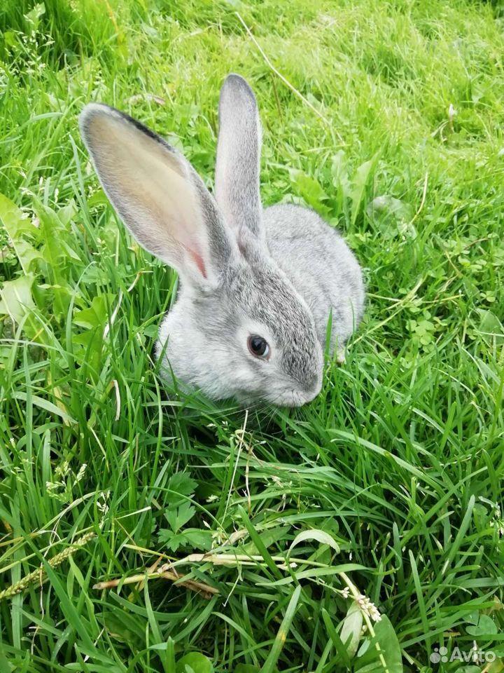 Кролики  89997865033 купить 3