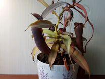 Хищное растение непентес — Растения в Саратове