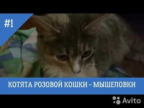 Котята от кошки мышеловки  89201645350 купить 1